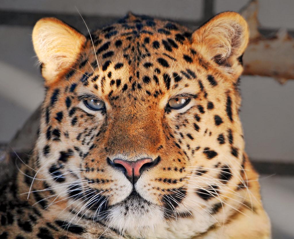 portrait of a male amur leopard
