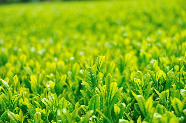 Tea plantation_26