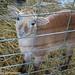 Ewe Lamb Portraits 6 (Gigi)