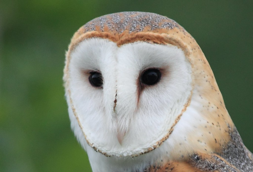 Owl Diet Food List