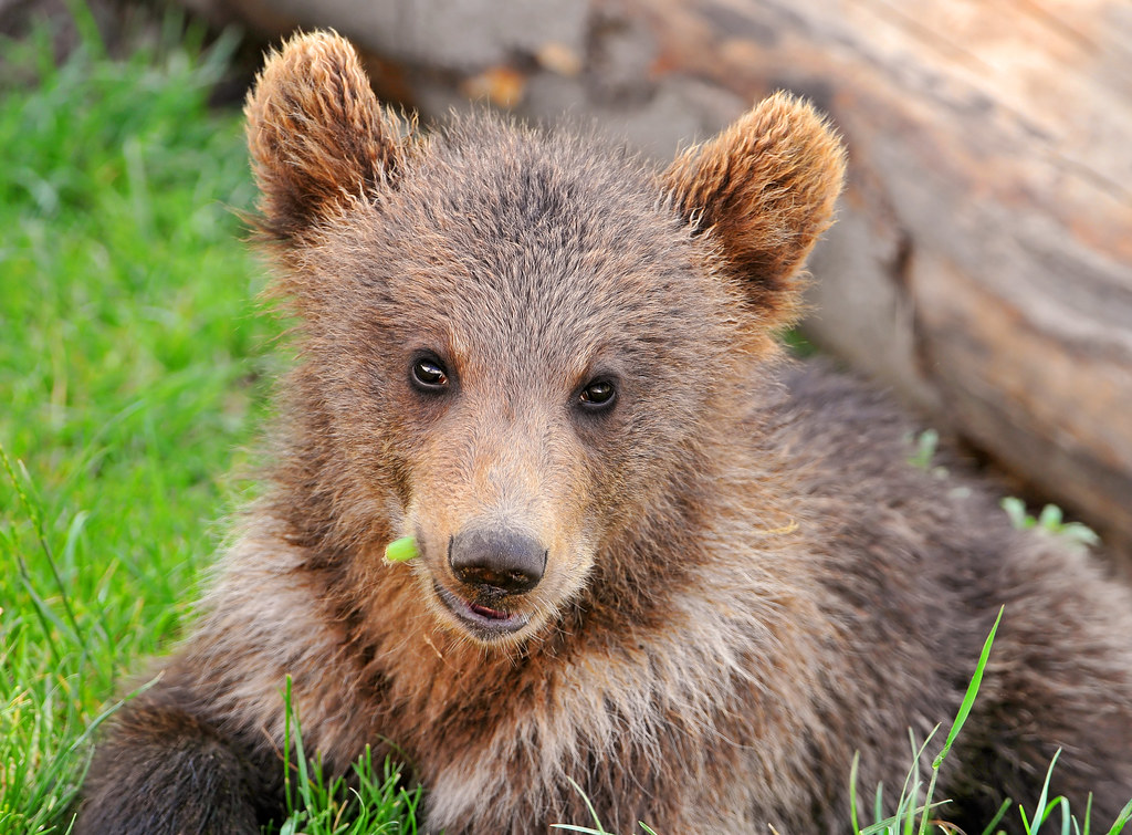 Cute Little Bear One Of The Young Bears Of The Bear Park