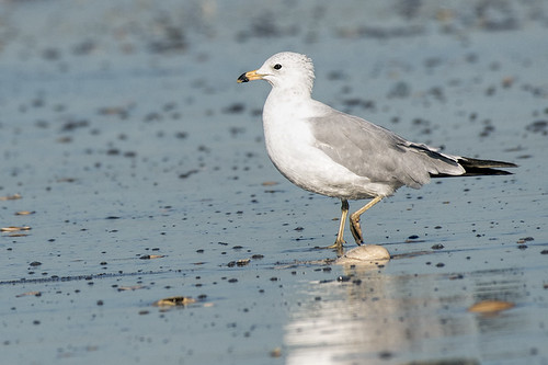 Nickerson Beach: Ring-billed Gull