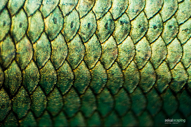 Betta splendens scales super macro the best that i can for Best fish scale