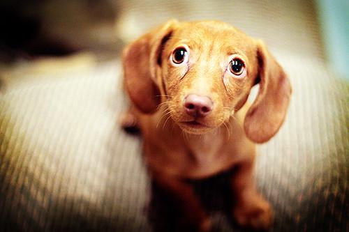 Already A Master Of The Sad Puppy Dog Eyes Brandi Ediss Flickr