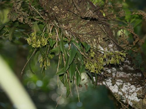 orqu dea mosca verde green fly orchid epidendrum conops flickr. Black Bedroom Furniture Sets. Home Design Ideas