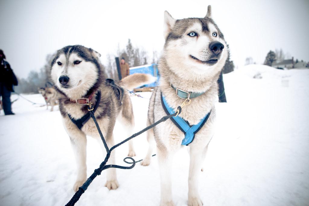Dog Sledding In Prince George British Columbia Dogpower