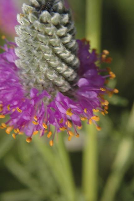 Petalostemum purpureum PURPLE PRAIRIE CLOVER