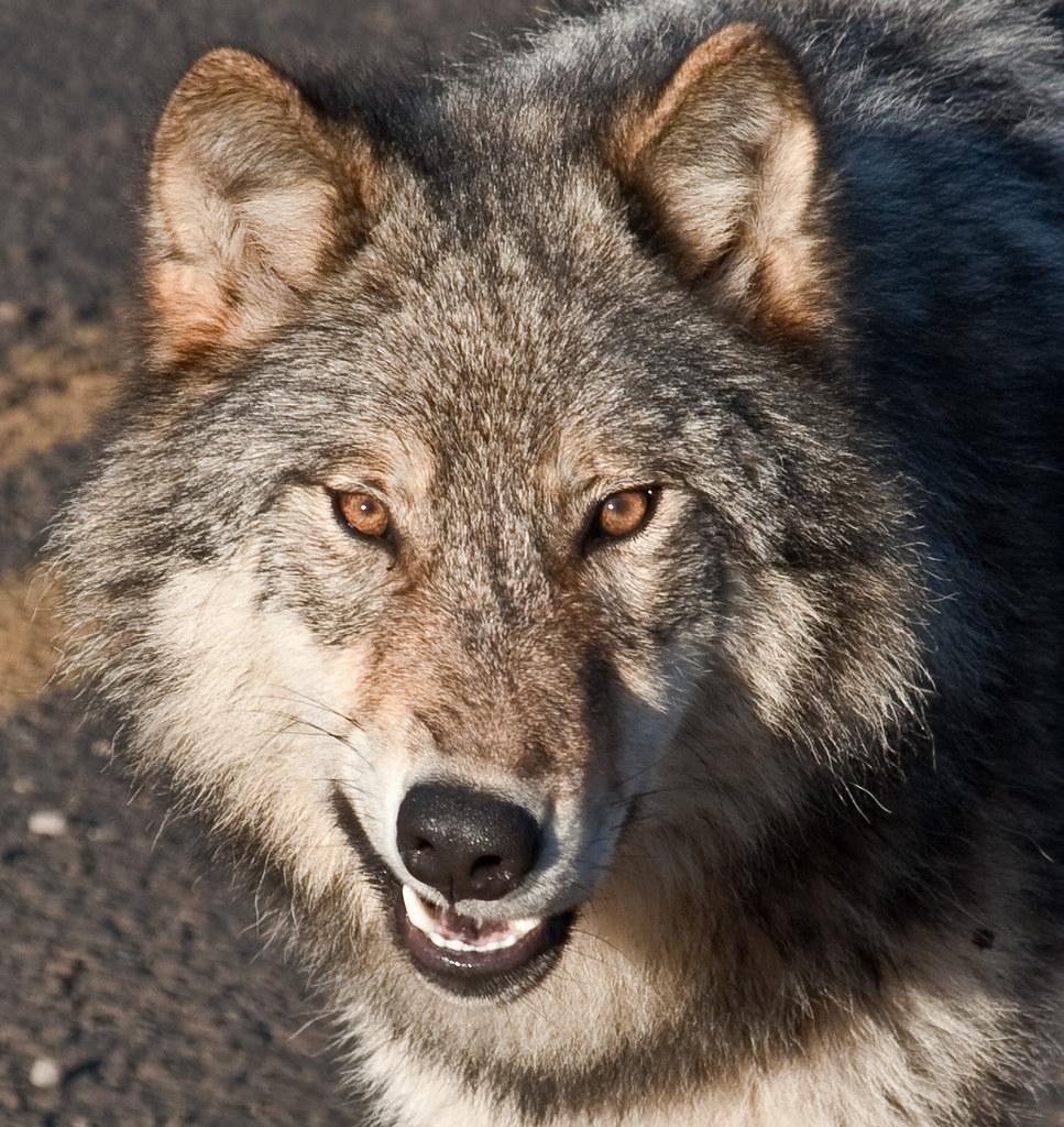 Grey Wolf Snarl | I saw this grey wolf on the Nisga'a ...