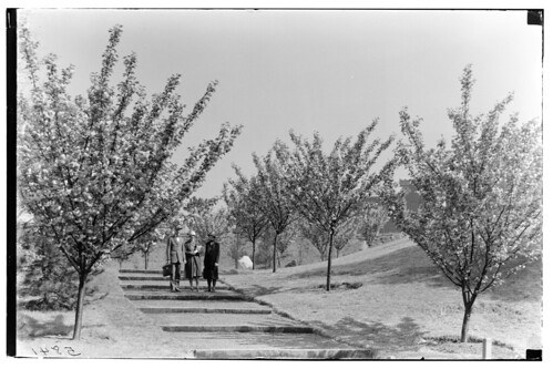 Cherry Walk 1926 | by Brooklyn Botanic Garden