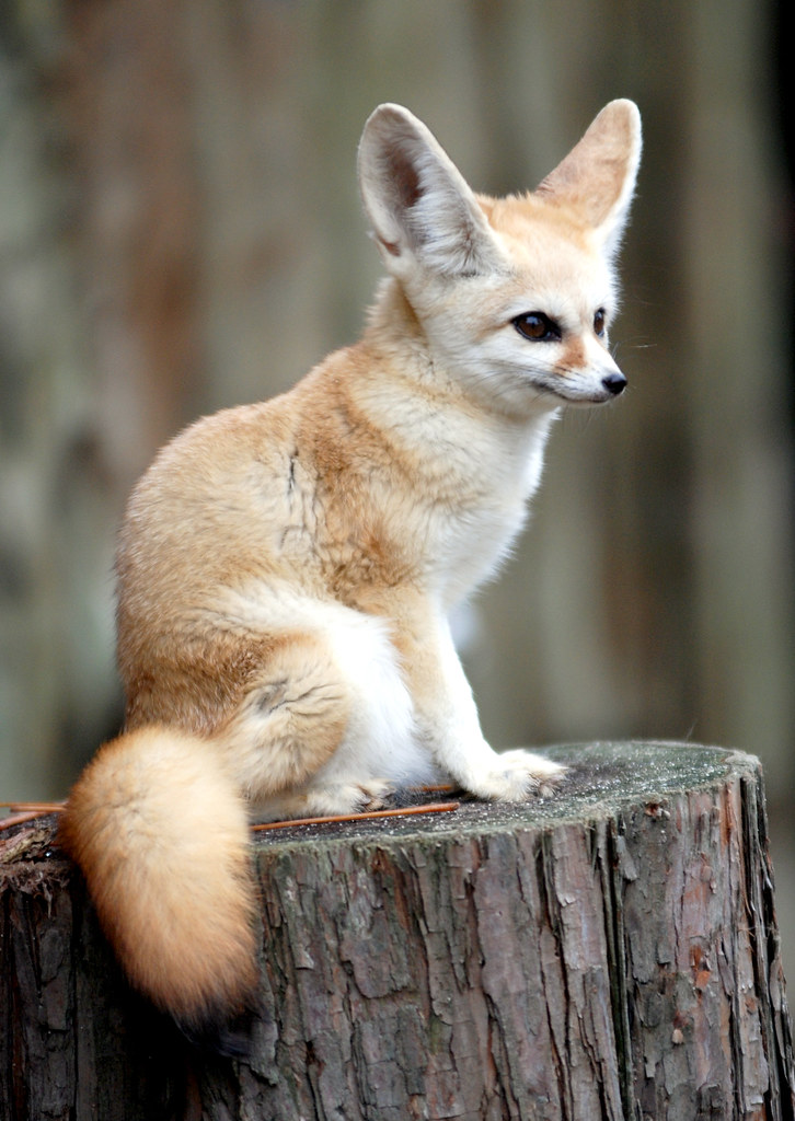 Fennec fox fennec fox in cherl kim - Pagina da colorare fennec fox ...