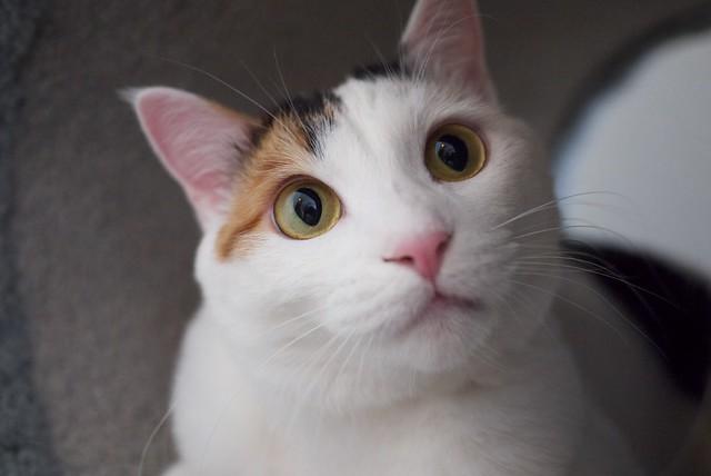 Mochi | She is a Japanese bobtail with beautiful eyes ...