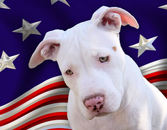 The All American pet Dog, the Bully | by Beverly & Pack
