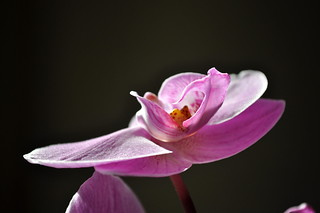 Orchid | by ~Maninas