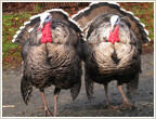 Handsome Gobblers | by olyerickson