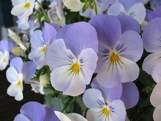 Pansies at the Pier | by Scatteredmom