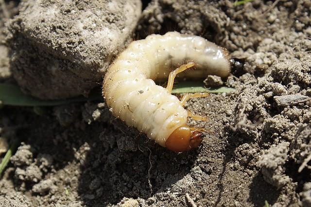 Japanese beetle larvae identification