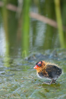 Baby Coot | by Nick Chill Photography