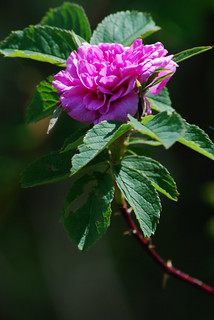 Wild Rose | by Stephen Downes