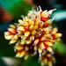 Guzmania Loja (Bromeliad)
