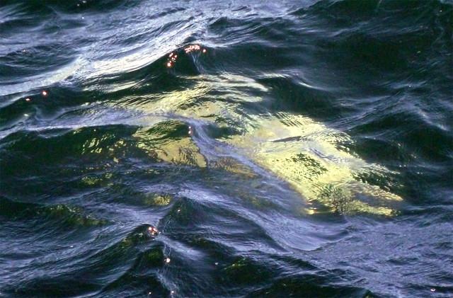 Australian giant jellyfish - photo#15