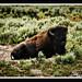 buffaloinrepose