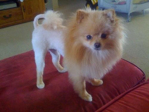 Pomeranian Lion Cut Haircuts