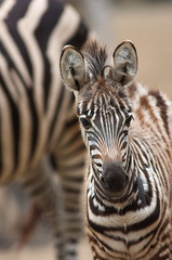 young zebra | by iPhotograph