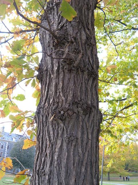 Quercus Bicolor Bark Quercus bicolor...