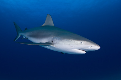 Caribbean Reef Shark | by Jaw's Dad