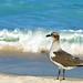 Caribbean Seagull