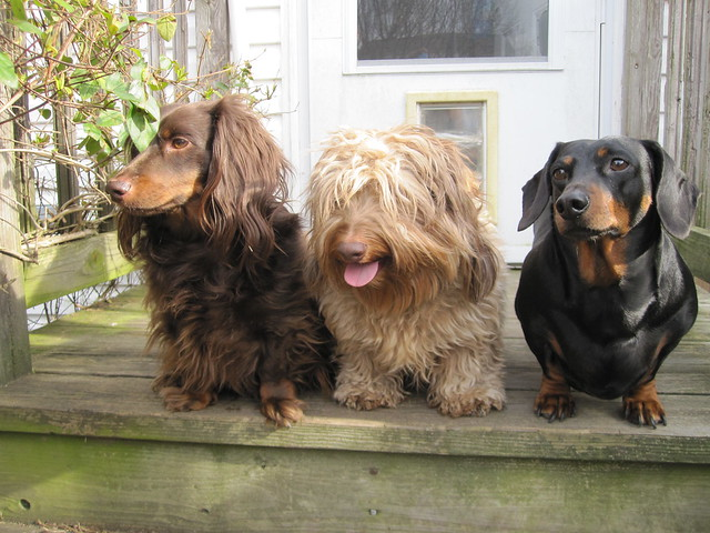 The Dachshund Diversity