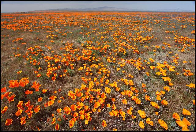 spring wildflowers in antelope - photo #19