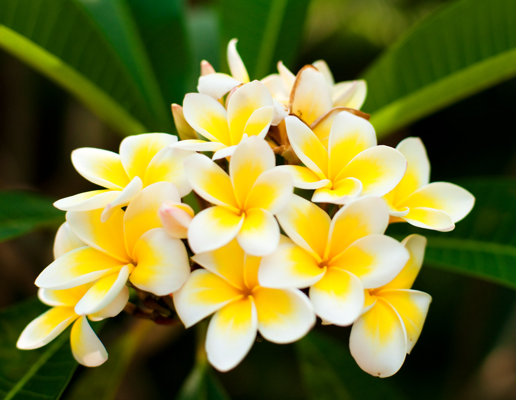 Plumeria Plumeria Common Name Frangipani Syn