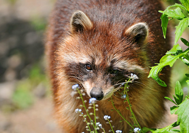 Raccoon and flowers