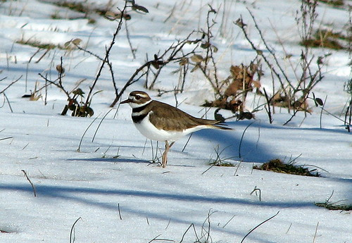 Killdeer in the Snow | by Cymry Flood