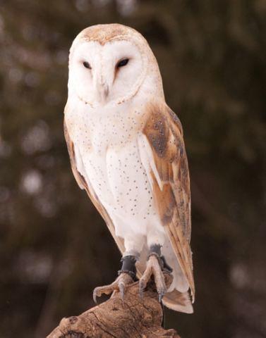 Female barn owls