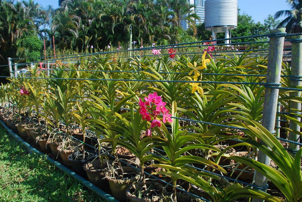 Vanda Orchids Grown In Flower Beds Orchid Gardens Kuala