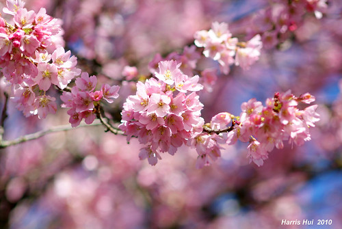 Pink on Pink - Cherry Blossoms 6102e | by Harris Hui (in search of light)