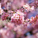 Pink on Pink - Cherry Blossoms 6102e