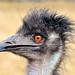 Funny emu