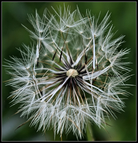 Dandelion | by Jerry Spain