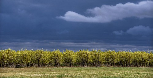Yellow orchard | by ongopt50