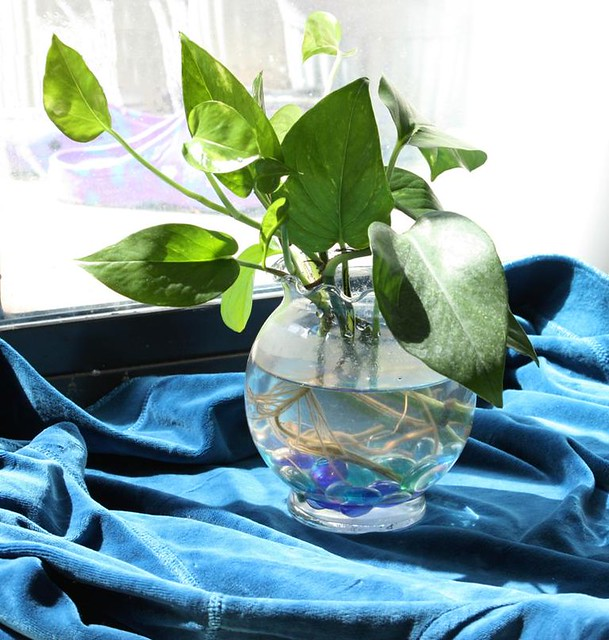 still life pothos plant in glass vase i love growing. Black Bedroom Furniture Sets. Home Design Ideas