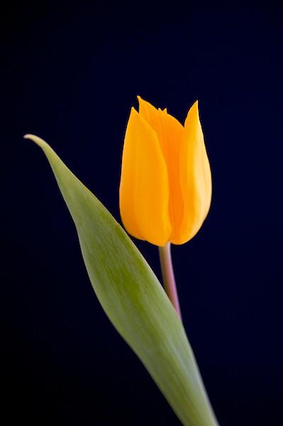 Yellow Tulip Single Flower For Spring Paul Amp Mhairi
