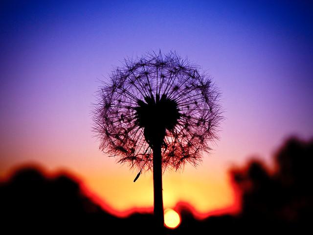 dandelion sunset related keywords - photo #40