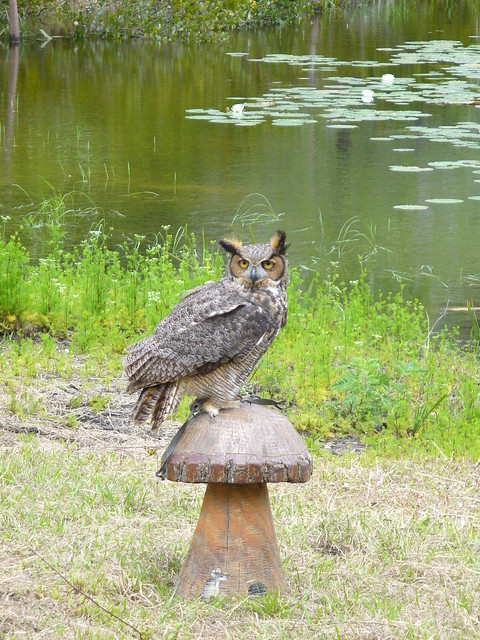 tecolote owl flickr photo sharing