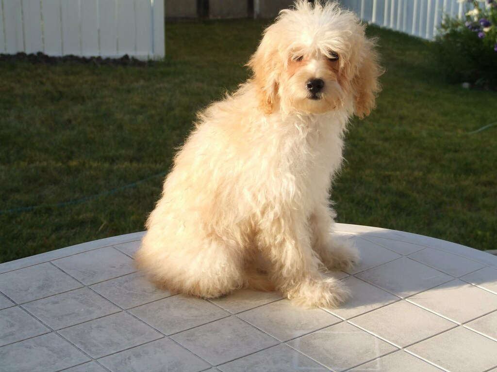 Maltese poodle puppy before haircut approx 5 months old t s maltese poodle puppy before haircut by t s smith winobraniefo Image collections