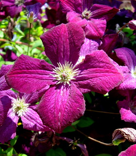 Classy Clematis (by My Classy Wife) | by Puzzler4879