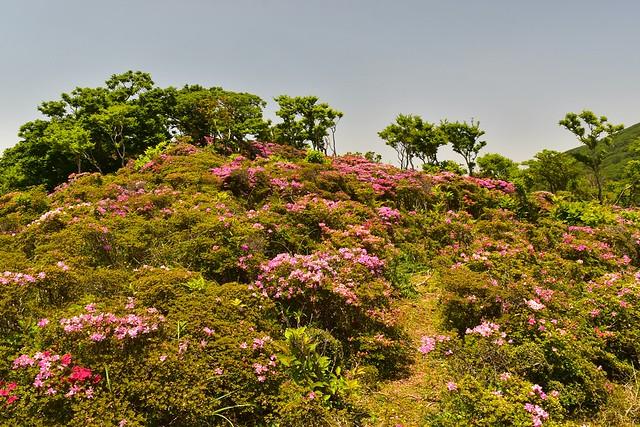 韓国岳・大浪池のミヤマキリシマ