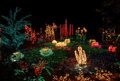 Garden d 39 lights at bellevue botanical garden every decembe flickr for Bellevue botanical garden lights